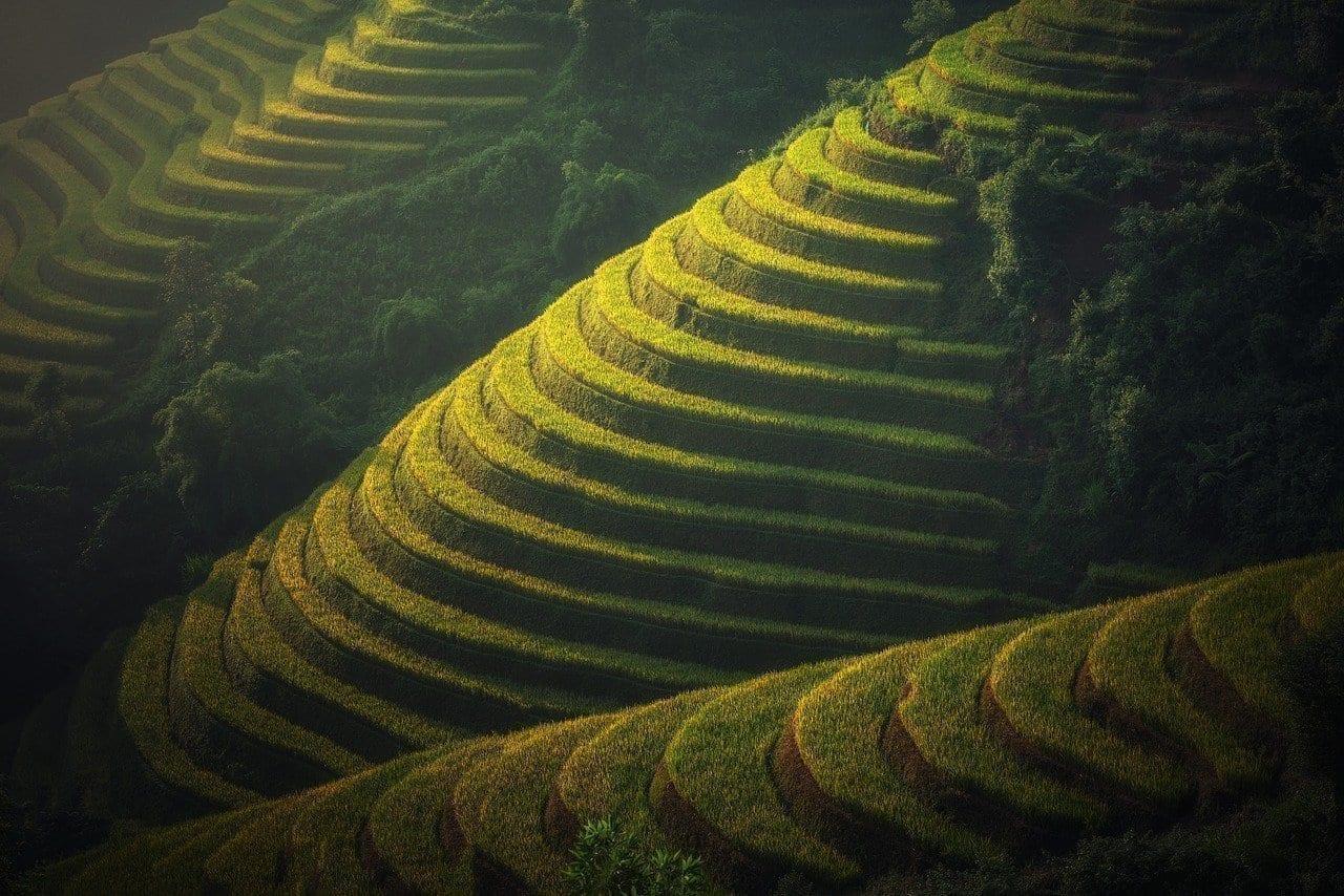 Agricultura Vietnam La Plantación De Arroz