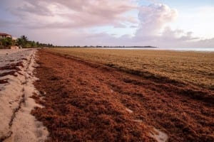 Belice Sargassum Playa