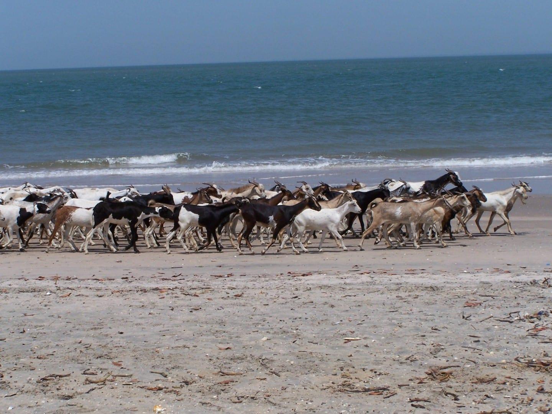Cabras en la playa Gambia