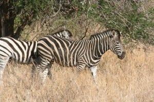Cebra Botswana áfrica