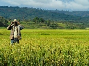 Cultivo de arroz en Burundi Burundi