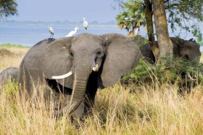 Elefante Parque Nacional Murchison Uganda