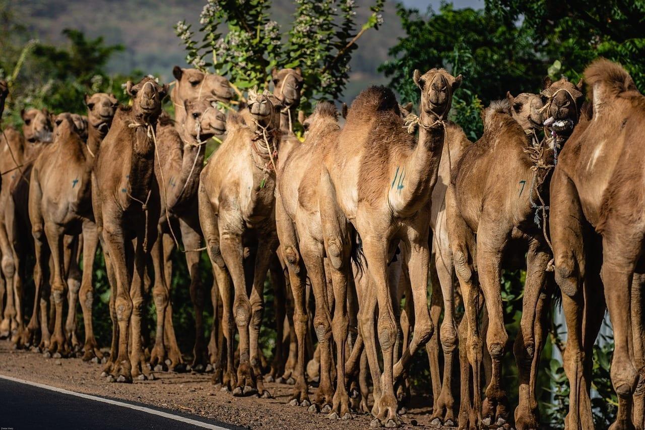 Etiopía áfrica Dromedario