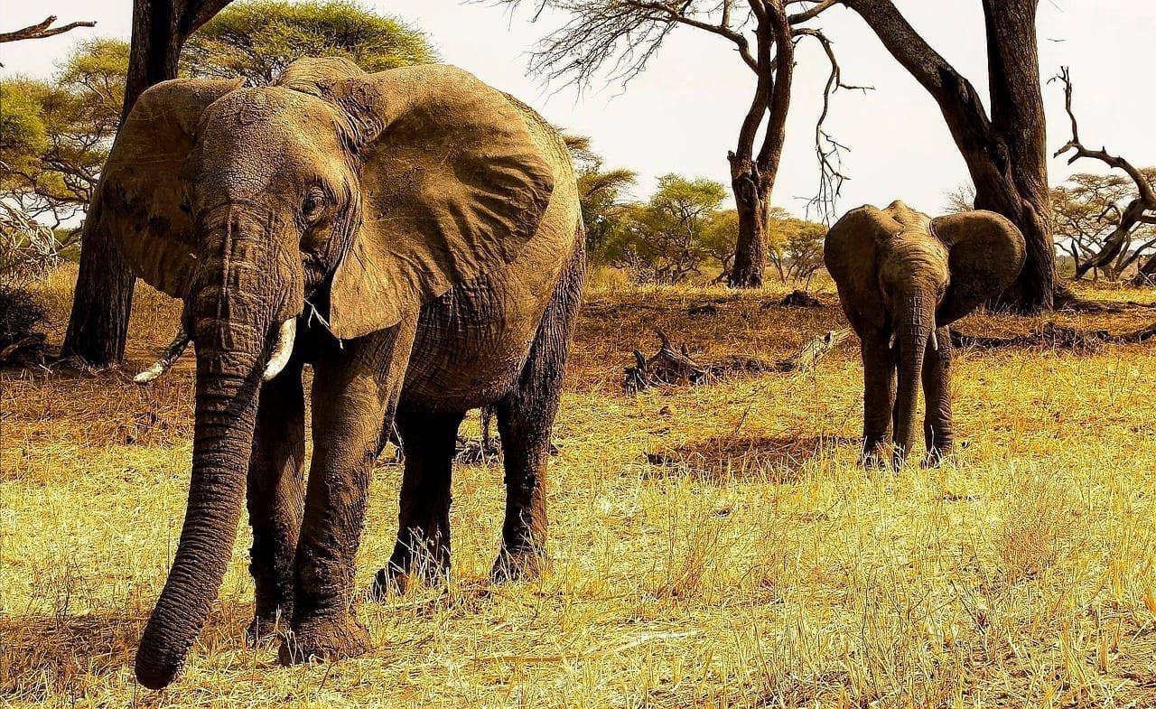 áfrica Tanzania Elefantes