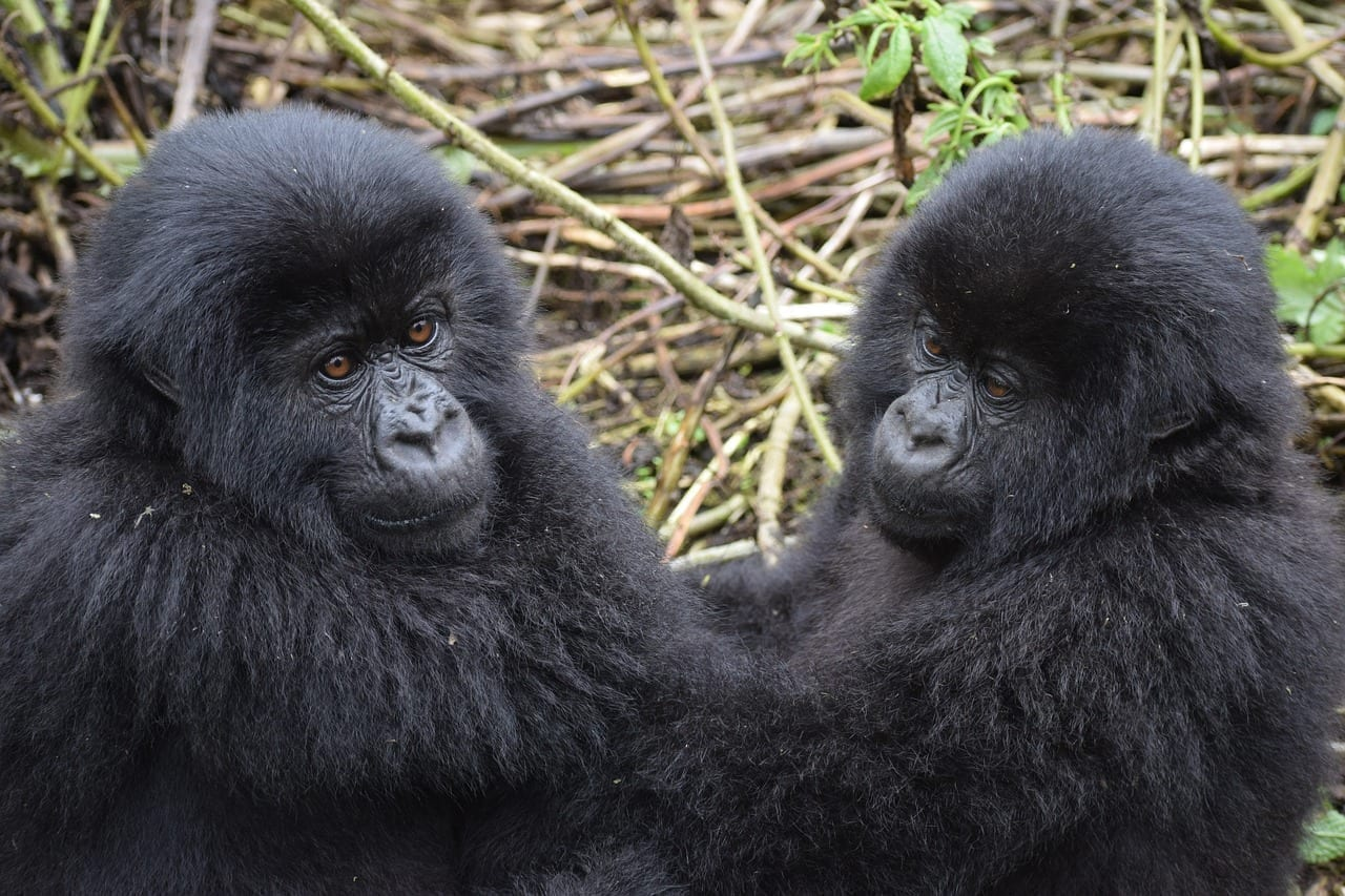 Gorila De Montaña Uganda La Vida Silvestre