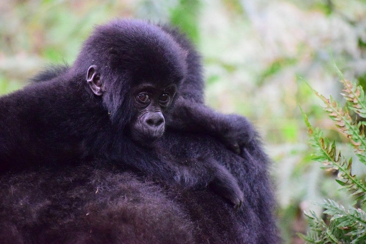 Gorila De Montaña Uganda Primate