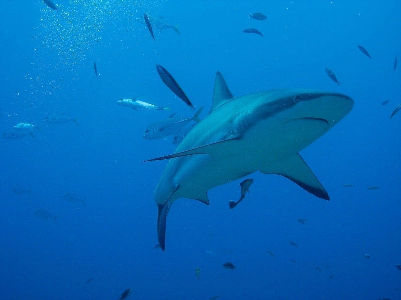 Honduras Roatán Tiburón