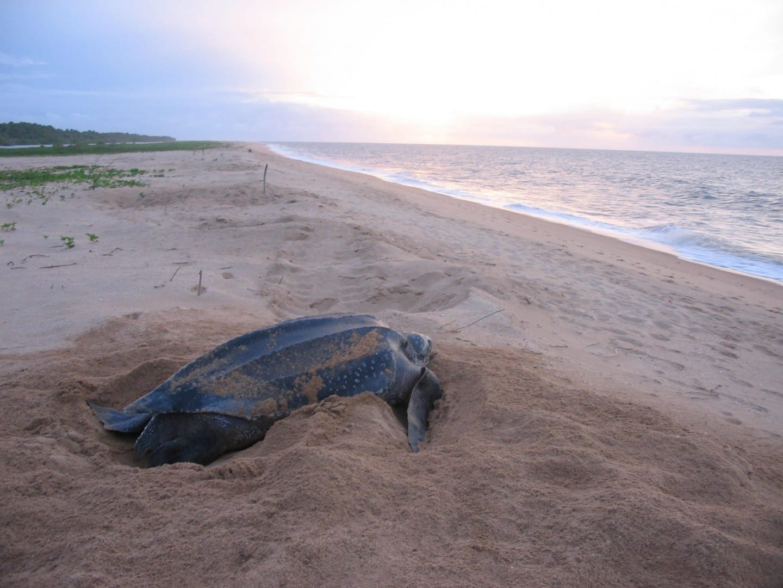 Las playas cerca de Galibi son una de las principales zonas de anidación de las tortugas marinas laúd protegidas. Surinam