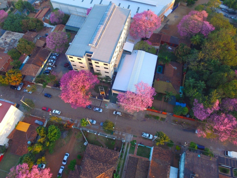 Los árboles de lapacho rosa en flor Paraguay