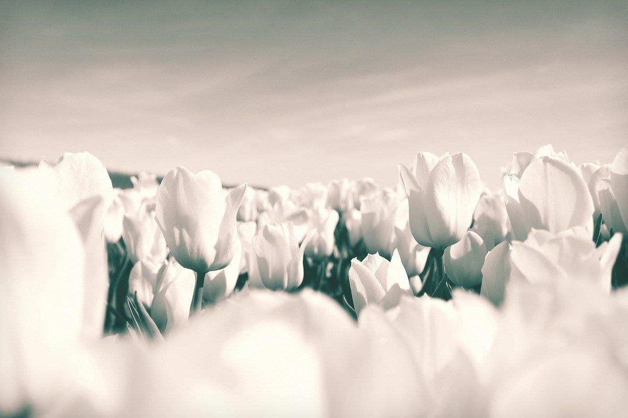 Tulipanes Países Bajos Flores