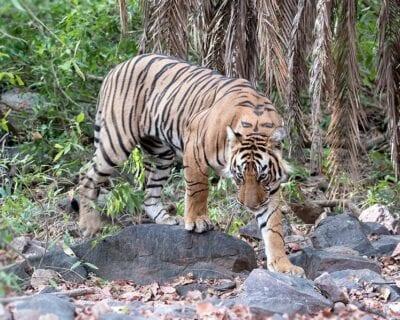 Ranthambore Parque Nacional India