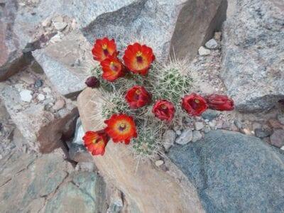 Cactus en flor en el Gran Cañón Gran Cañón AZ Estados Unidos