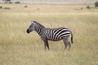 Cebra áfrica Serengeti Tanzania