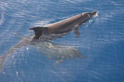 Delfines en la Bahía de Na'ama Sharm el Sheikh Egipto
