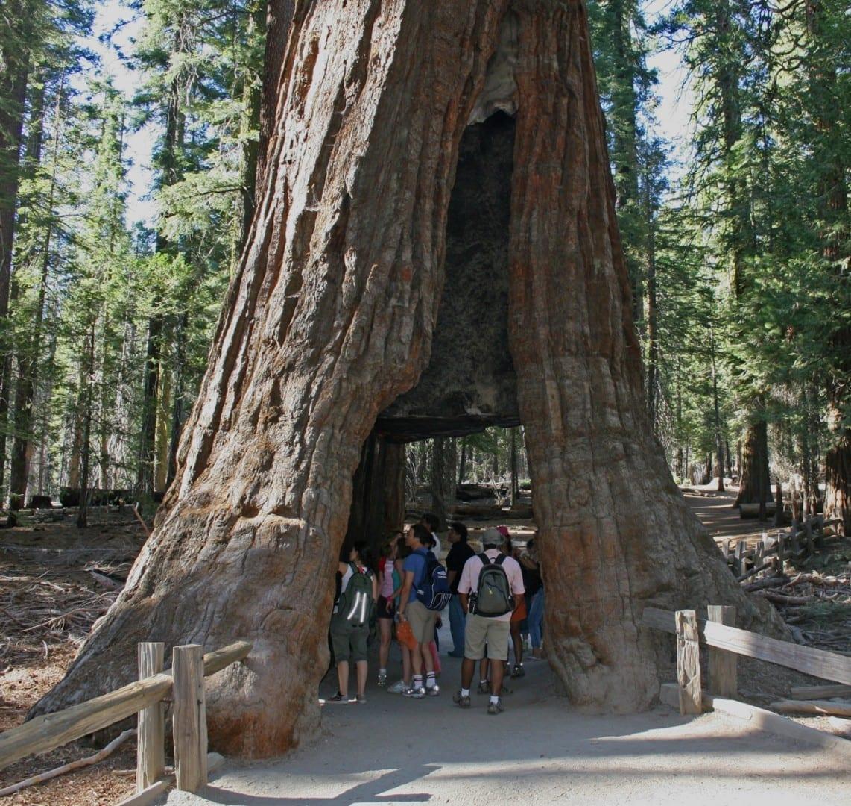 El árbol California Tunnel en Mariposa Grove. Yosemite Parque Nacional CA Estados Unidos