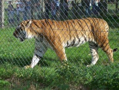 El Tigre Siberiano en el Blair Drummond Safari Park Stirling Reino Unido