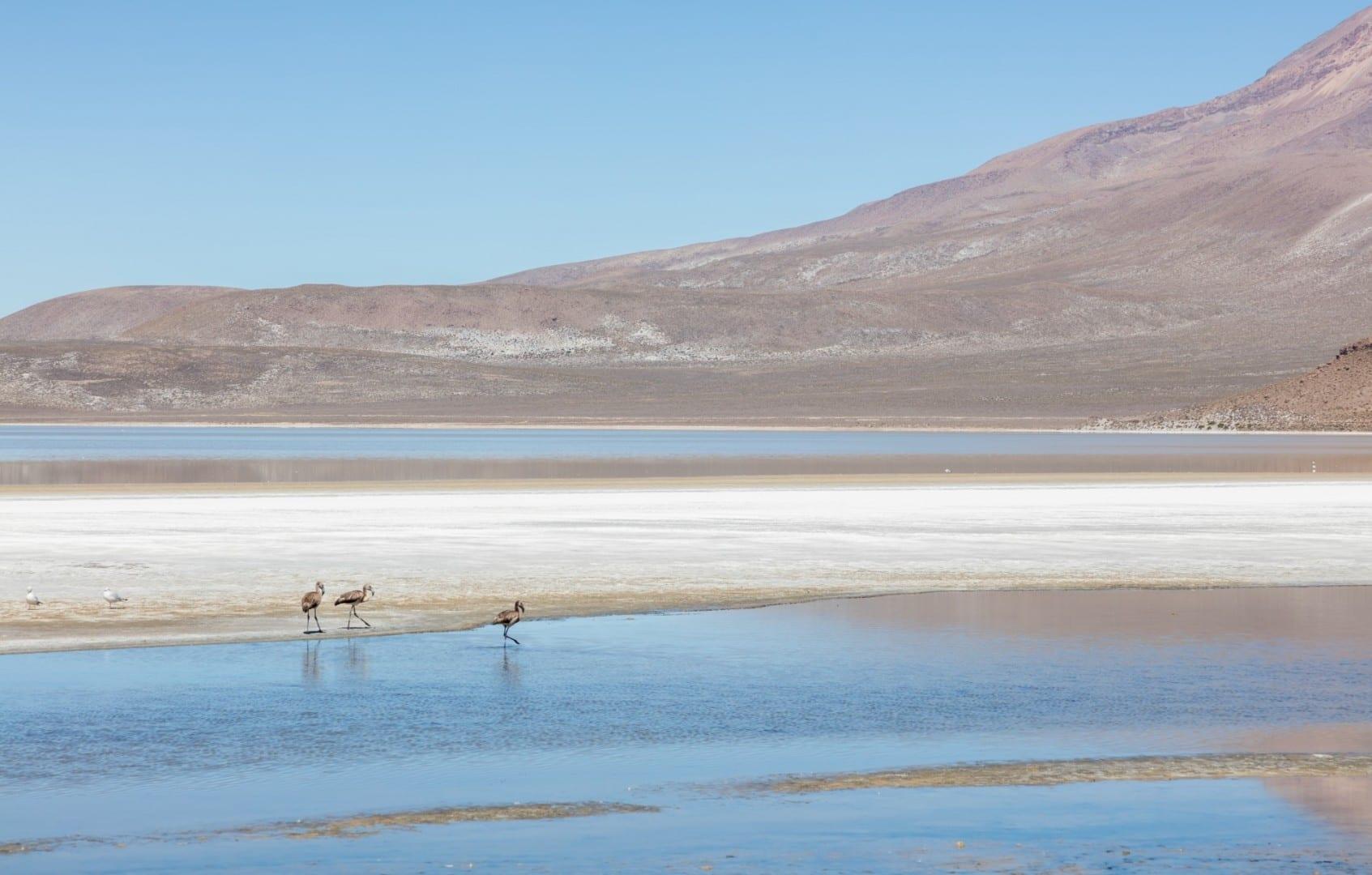 James's flamingos, Laguna de Salinas Arequipa Perú
