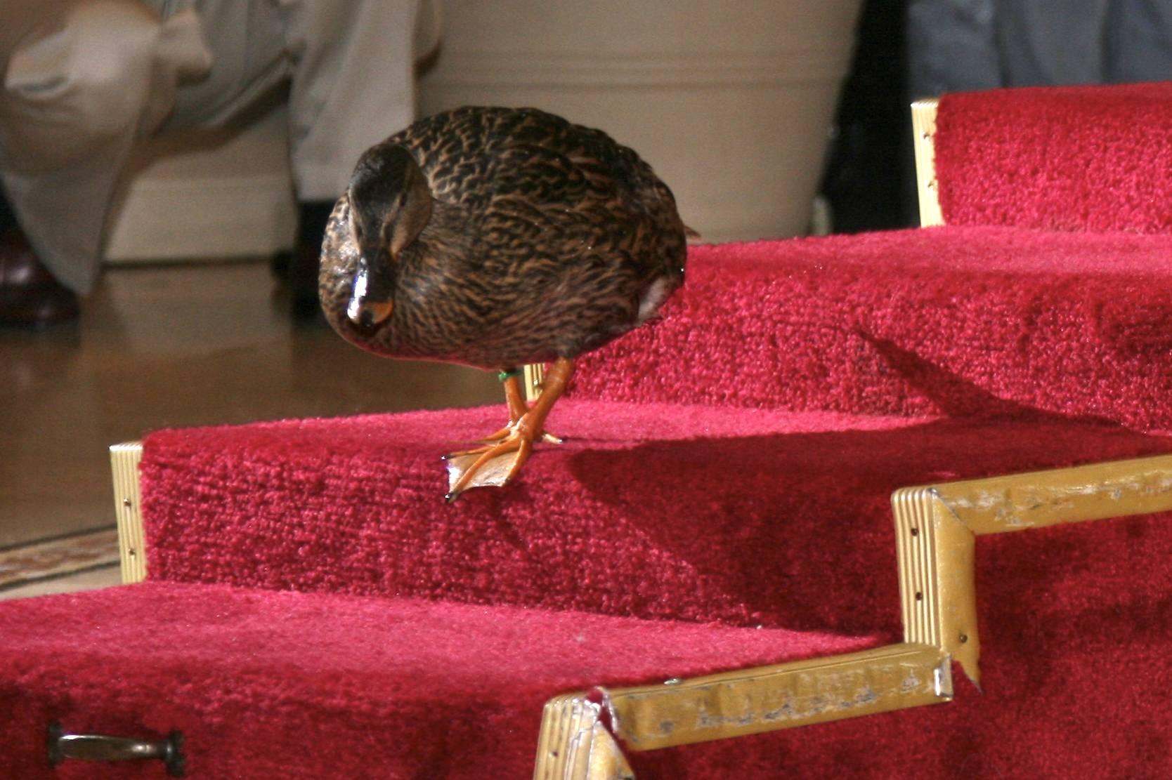 La realeza de los patos en el Hotel Peabody (el antiguo nombre del Hotel Marriot) Little Rocks (Arkansas) Estados Unidos