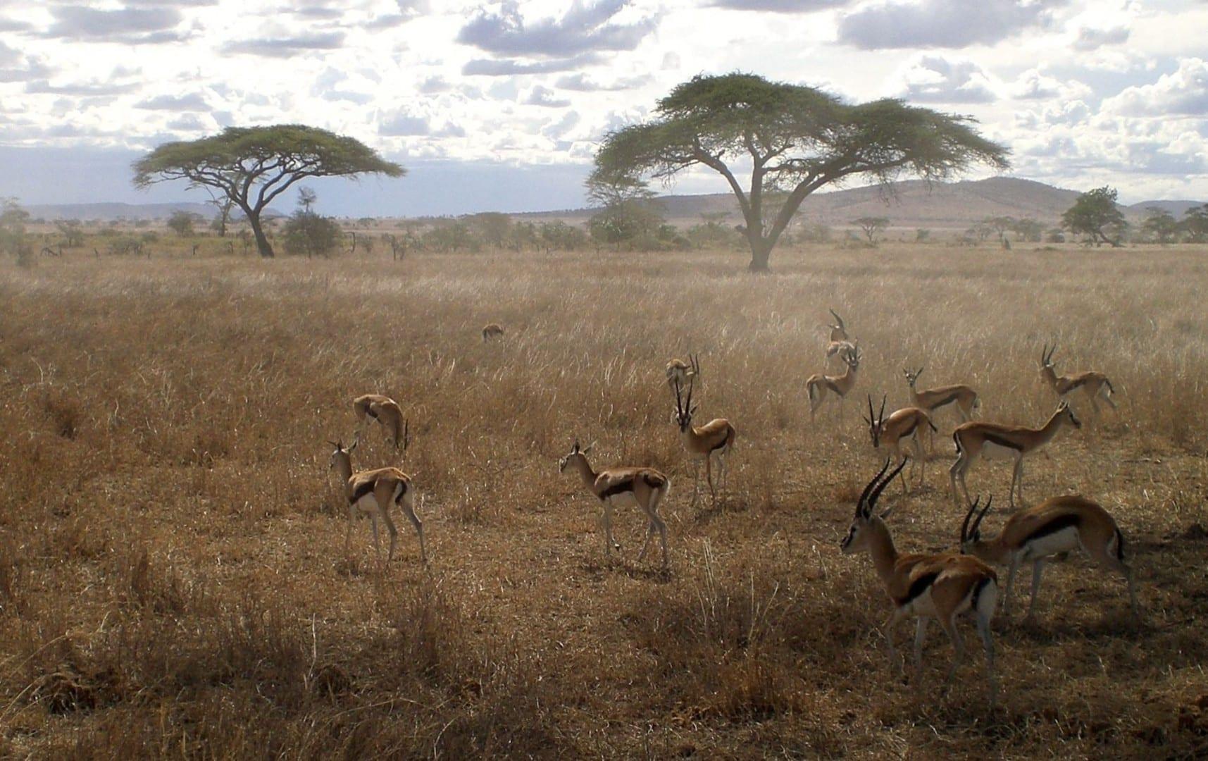 Las gacelas de Thompson, Serengeti Serengeti Tanzania