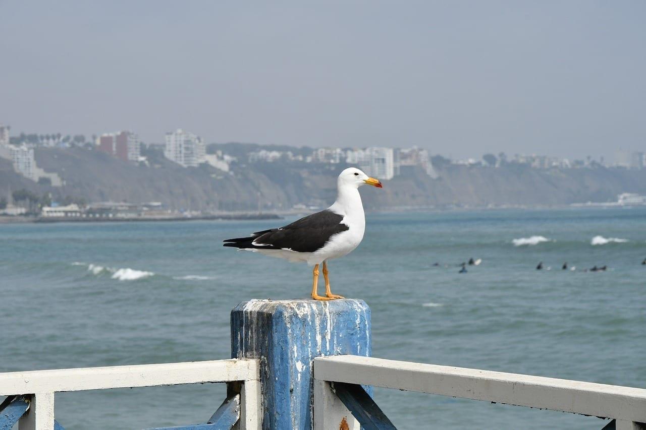 Lima Playa Aves Perú