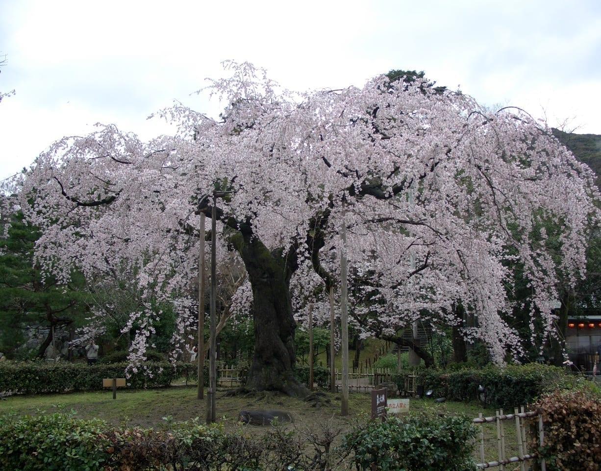 Los cerezos en flor en el Parque Maruyama de Kioto Kioto Japón