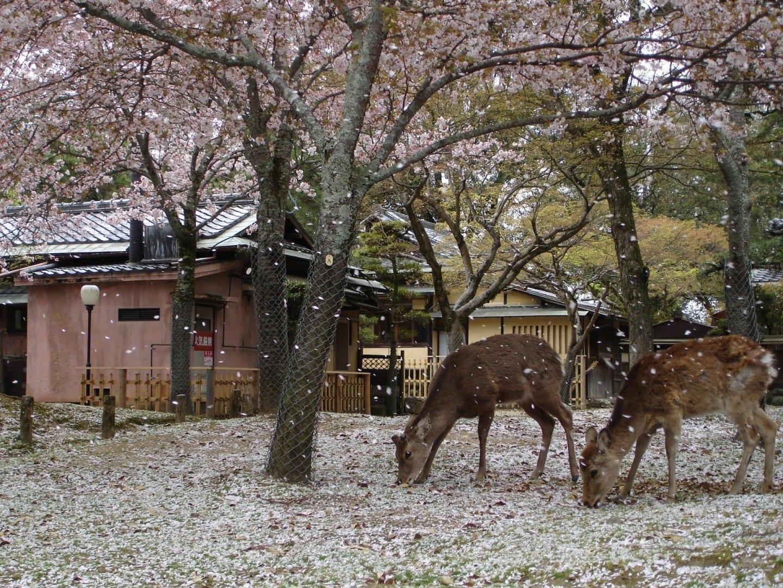 Los ciervos también disfrutan de la flor del cerezo Nara Japón
