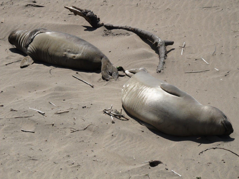 Los elefantes marinos a menudo se encuentran en la arena del Parque Estatal de Ano Nuevo Santa Cruz CA Estados Unidos