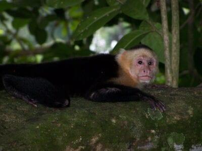 Los monos cariblancos se ven a menudo en el parque. Manuel Antonio Costa Rica