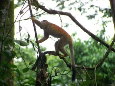 Manuel Antonio es uno de los pocos lugares en los que se puede ver al mono ardilla centroamericano. Manuel Antonio Costa Rica