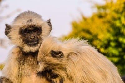 Monos Animales Udaipur India