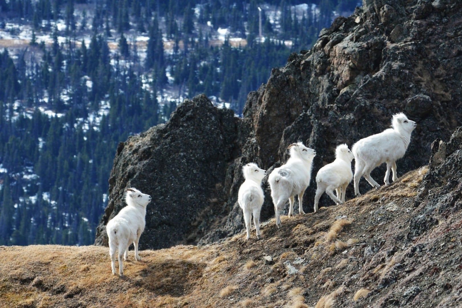 Ovejas de Dall en el Parque Estatal de Chugach Anchorage Estados Unidos