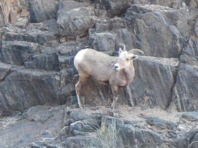 Ovejas de gran cuerno del desierto cerca del fondo del cañón Gran Cañón AZ Estados Unidos