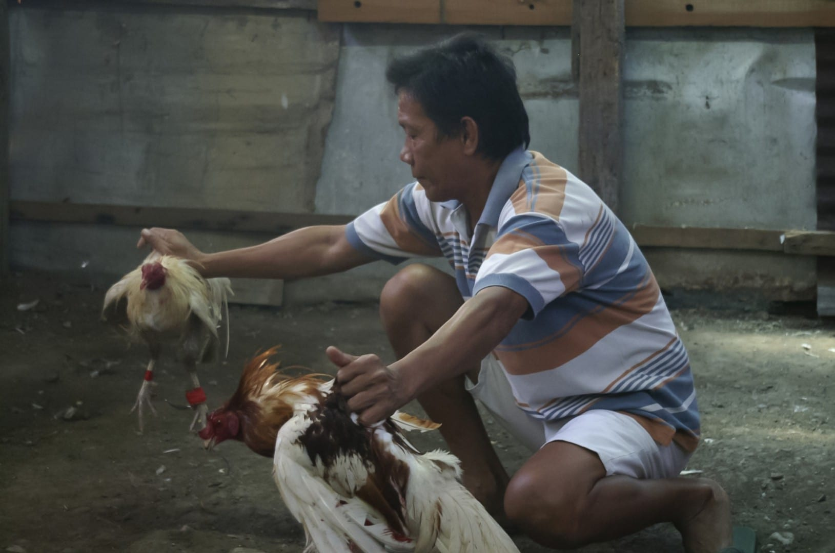 Peleas de gallos Cebu Filipinas