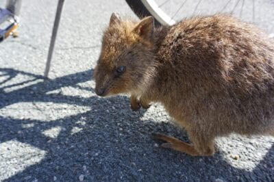 Quokkas Perth Rottnest Island Australia