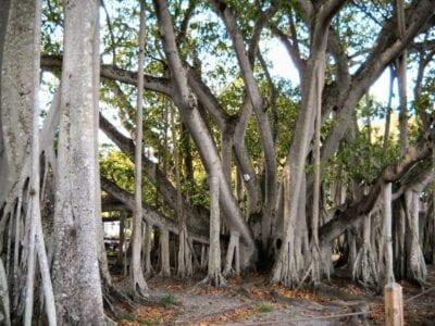 Árbol de Banyan - En los terrenos de las Fincas de Invierno Edison y Ford Fort Myers Estados Unidos