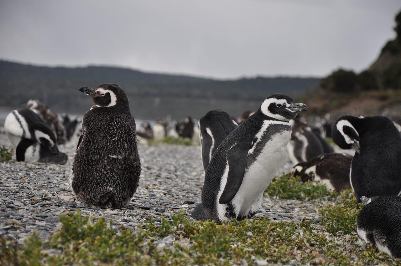 Sudamérica Ushuaia Pingüino Argentina