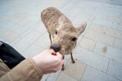 Un ciervo Nara comiendo ansiosamente de los turistas. Nara Japón