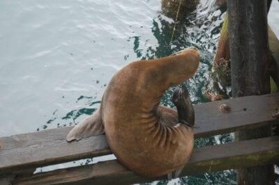 Un león marino en el muelle municipal de Santa Cruz Santa Cruz CA Estados Unidos