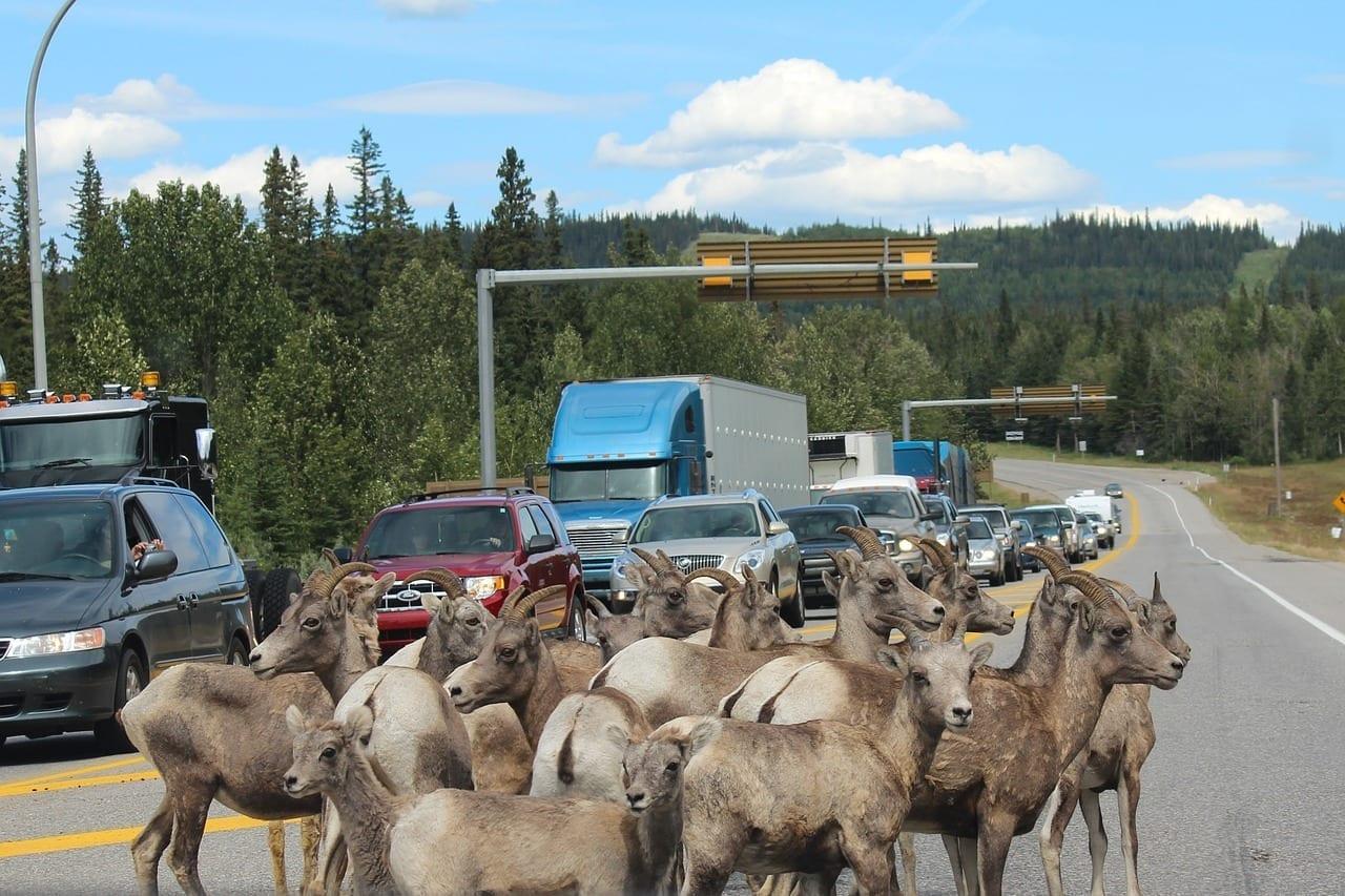 Cabra Montés Barricada Jasper Canadá
