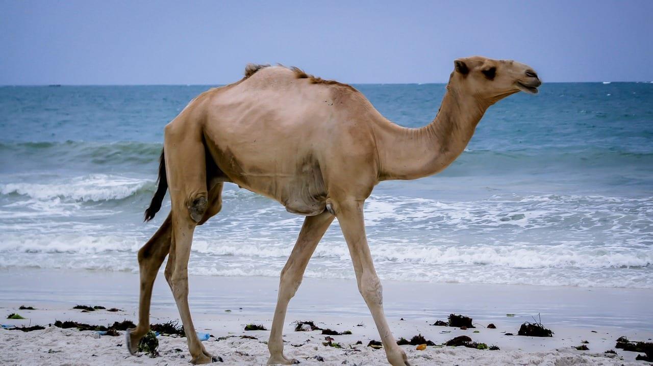 Camel Kenya Mombasa Kenia