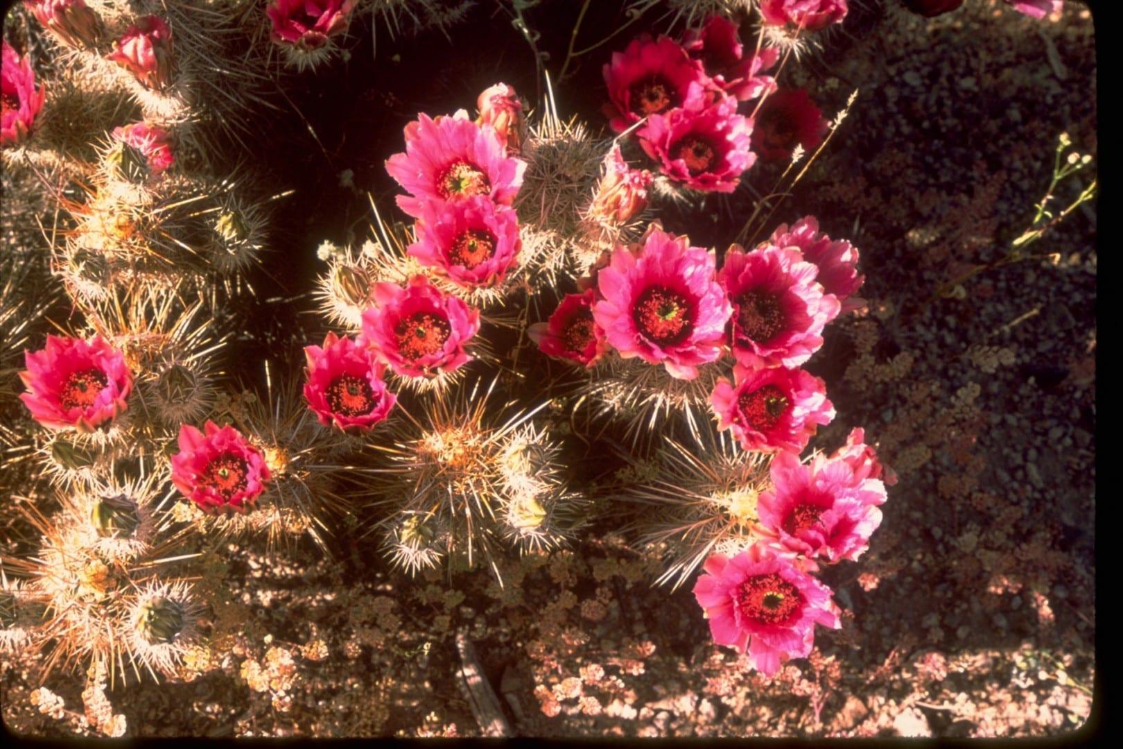 El cactus cholla en flor Saguaro Parque Nacional AZ Estados Unidos