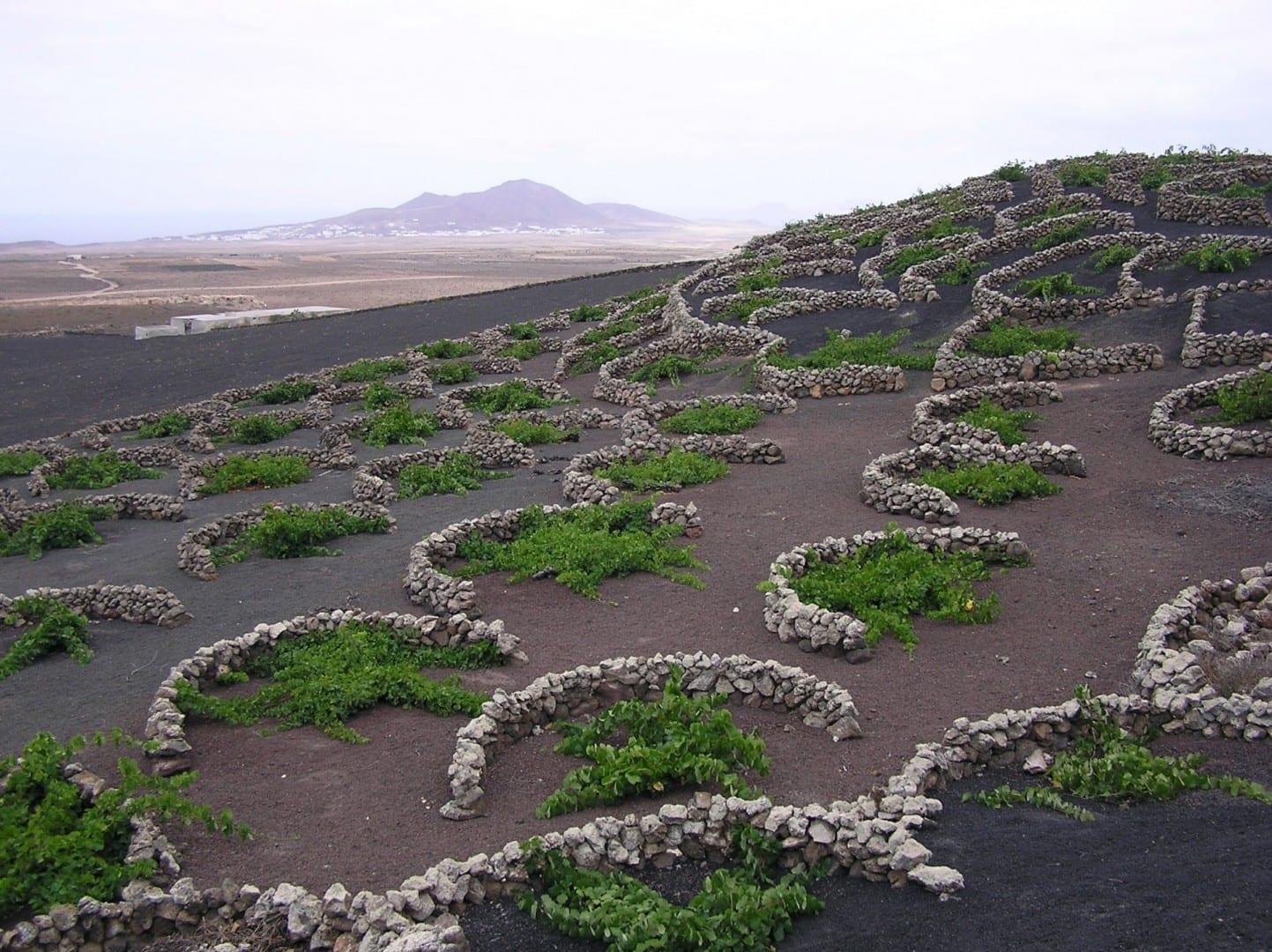 El viñedo Geria Lanzarote (Islas Canarias) España