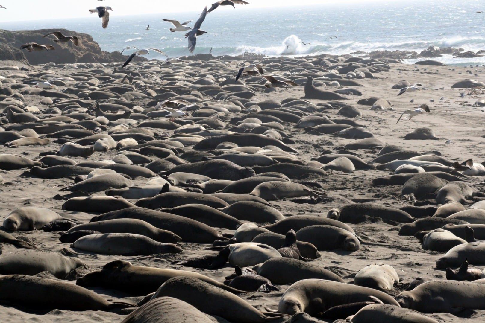 Elefantes marinos y gaviotas en la playa de San Simeón San Simeón Estados Unidos