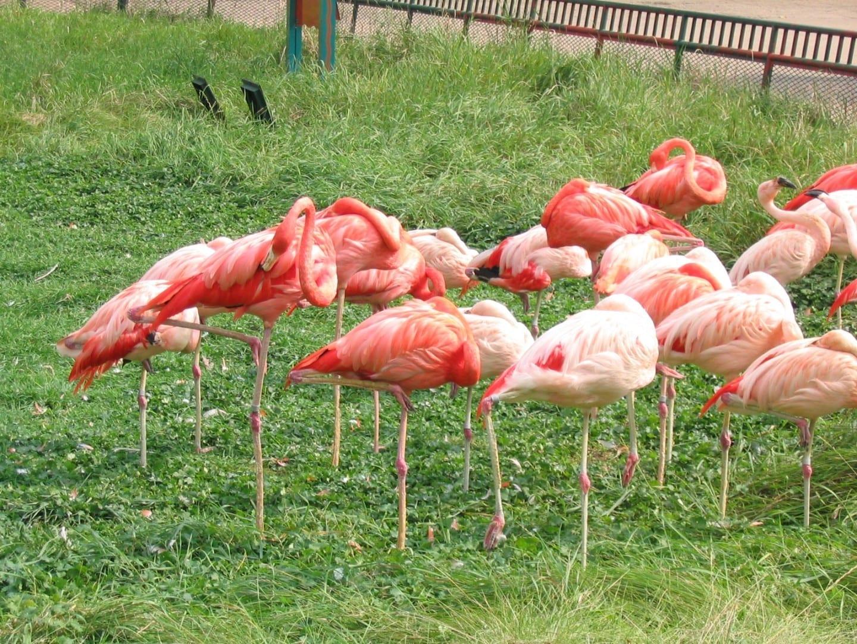Flamencos en el zoológico Henry Vilas Madison (Winsconsin) Estados Unidos