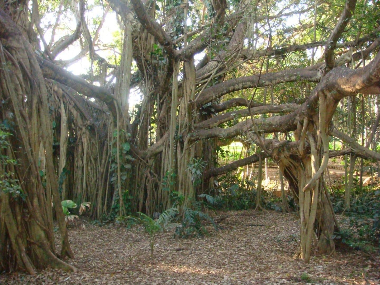 Higo gigante en el Jardín Botánico Rockhampton Australia