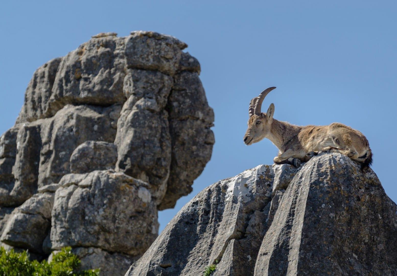 La cabra montés y las rocas en El Torcal de Antequera Antequera España