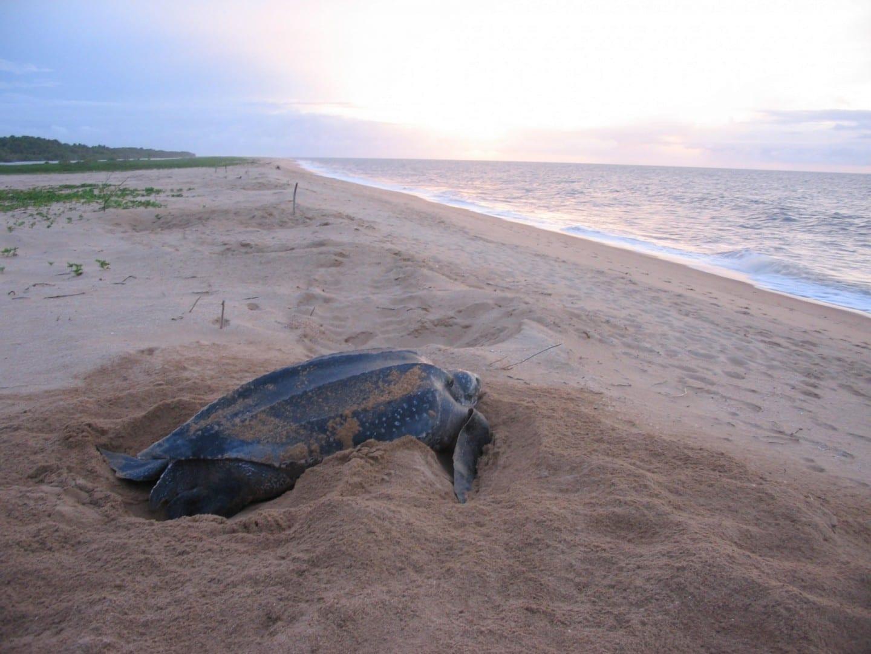 Las playas cerca de Galibi son una de las principales zonas de anidación de las tortugas marinas laúd protegidas. Paramaribo Surinam