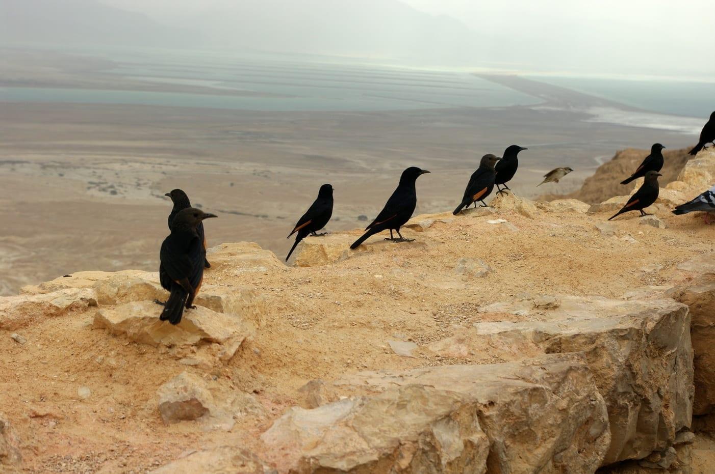 Los estorninos del Tristram en Masada Masada Israel