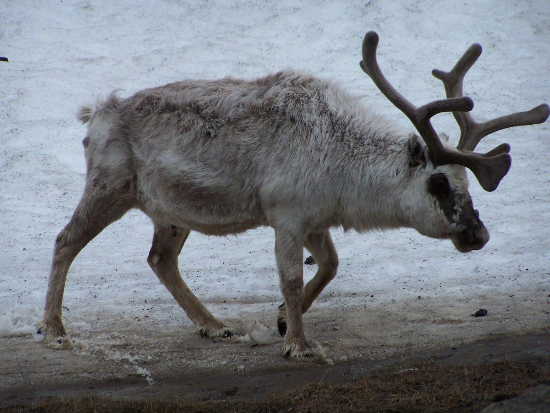 Los renos en la ciudad Longyearbyen Noruega