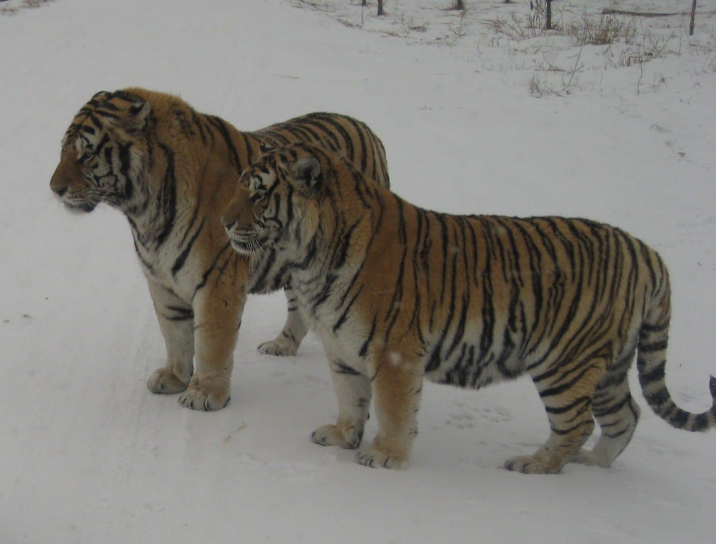 Los Tigres de Siberia observando y esperando Harbin China